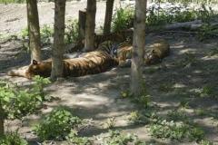 amur_tiger_1