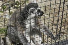 lemuren_1