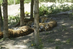 amur_tiger_2