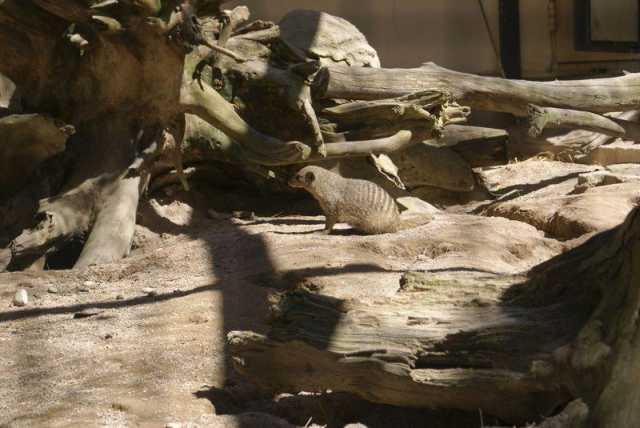 zebra_mangusten_1