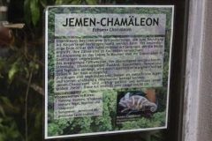 jemen_chamaeleon_info